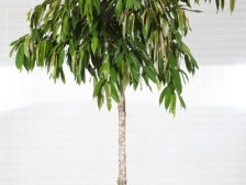 Ficus Amstel King Baston